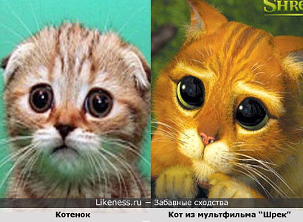 Котенок похож на Кота из Шрека
