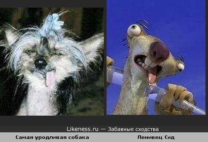 Самая уродливая собака похожа на ленивца Сида