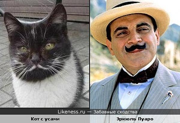 Кот с усами похож на Эркюля Пуаро