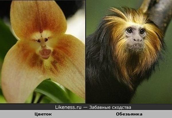 цветок похож на мордочку обезьянки