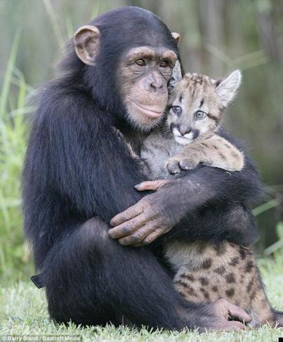 шимпанзе и детеныш пумы