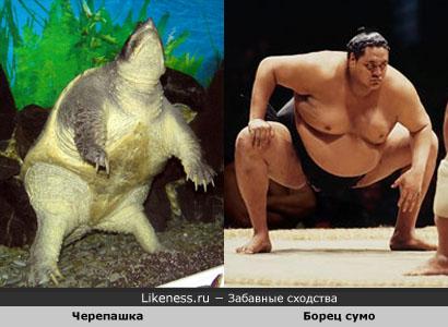 Черепашка похожа на борца сумо: фото
