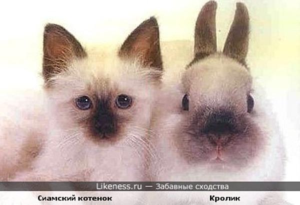 Сиамский котенок похож на кролика