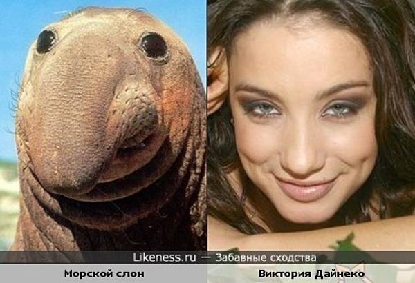 Морской слон похож на Викторию Дайнеко