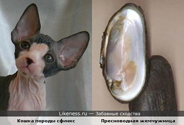 Уши кошек породы сфинкс похожи на створки пресноводной жемчужницы