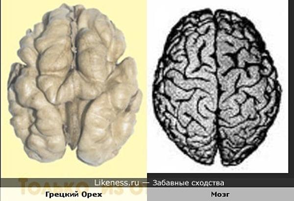 Грецкий орех похож на мозг