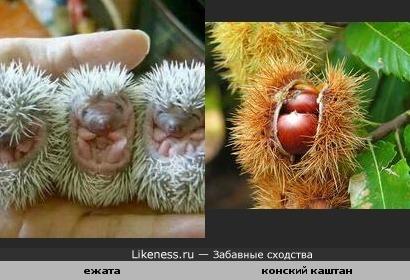 Ежата похожи на плоды каштана