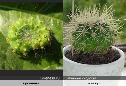Гусеница похожа на кактус