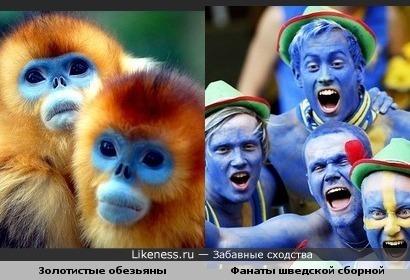 Золотистые обезьяны похожи на фанатов шведской футбольной сборной