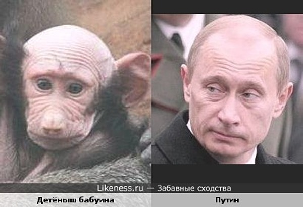 Детёныш бабуина похож на Владимира Путина