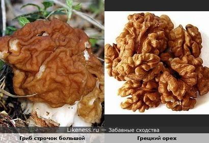 Гриб строчок большой похож на грецкий орех