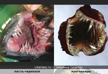 Открытая пасть морской черепахи напоминает лангольеров
