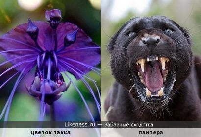 Такка – цветок «Летучая мышь», который напомнил пантеру