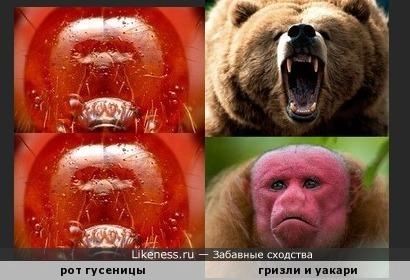 Рот гусеницы напомнил медведя гризли и обезьяну уакари