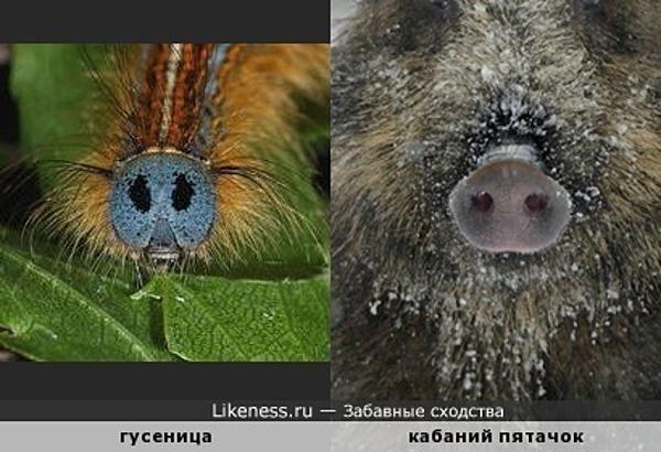 Гусеница напоминает кабаний пятачок
