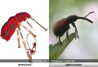 Волынка напоминает цветочника из рода жуков-долгоносиков