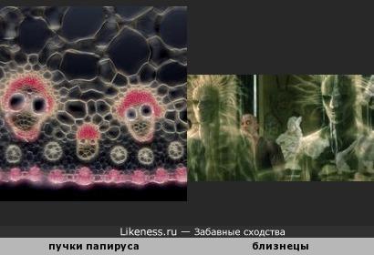 """Сосудистые пучки папируса напоминают близнецов из фильма """"Матрица-2"""""""
