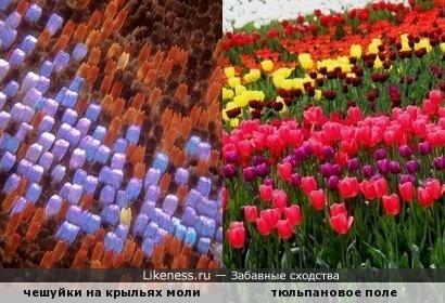 Чешуйки на крыле моли напоминают тюльпановое поле