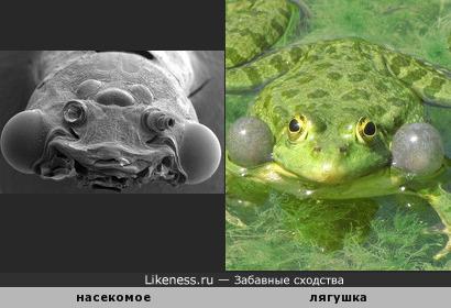 Голова насекомого напоминает лягушку