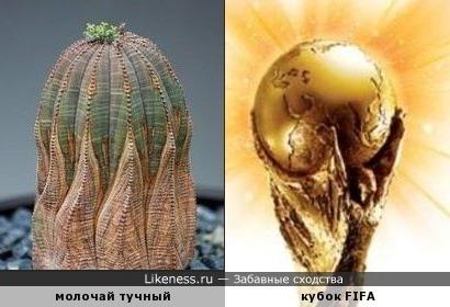 Молочай тучный напоминает кубок FIFA