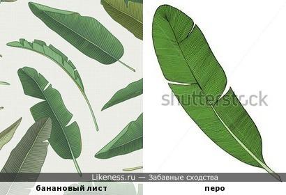 Банановый лист напоминает перо