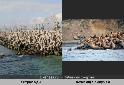 Нагромождения тетраподов (берегозащитных бетонных блоков) на расстоянии напоминают лежбища морских млекопитающих