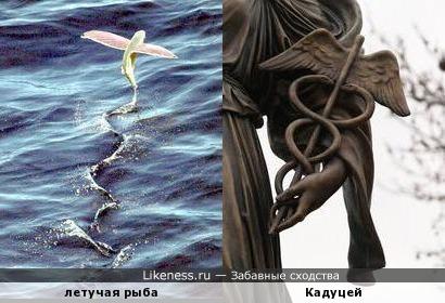 Взлёт летучей рыбы напоминает Кадуцей (жезл Гермеса)