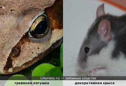 Узор на морде травяной лягушки напоминает голову крысы
