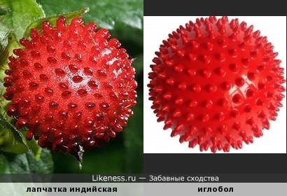 Лапчатка индийская напоминает иглобол (мяч для проведения массажа и лечебной гимнастики)