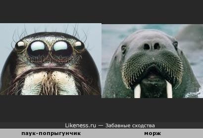 Паук-попрыгунчик напоминает моржа