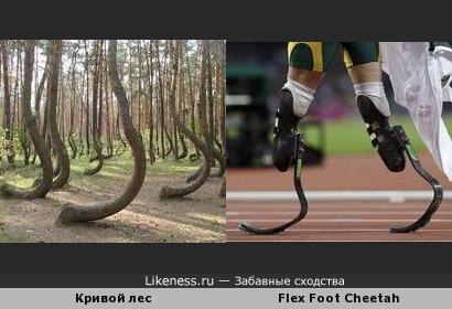 """Деревья Кривого леса (Польша) напоминают беговые протезы """"Гепард"""""""