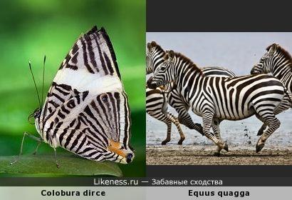 Бабочка Colobura dirce и Бурчеллова зебра