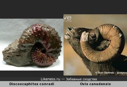 Древний окаменевший аммонит напоминает голову толсторогого барана