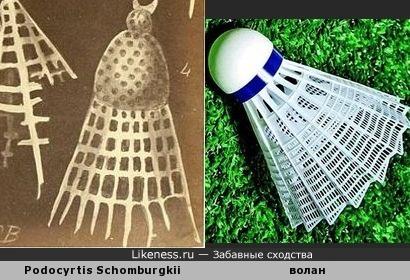 Скелет разновидности радиолярии Podocyrtis Schomburgkii (одноклеточный планктонный организм) напоминает волан