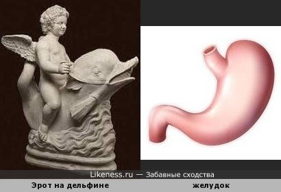 Дельфин напоминает желудок