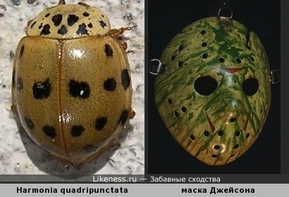 Божья коровка Harmonia quadripunctata напоминает вратарскую маску