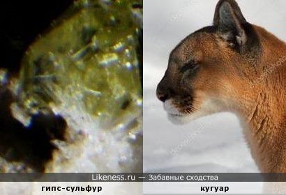Минерал гипс-сульфур напоминает кугуара