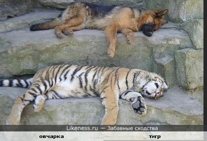 овчарка и тигр
