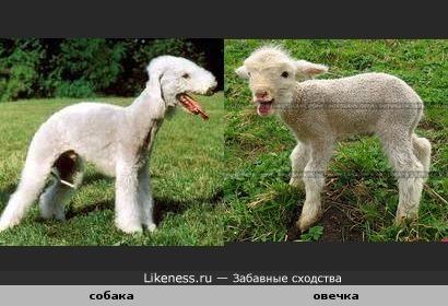 собака похожа на овечку