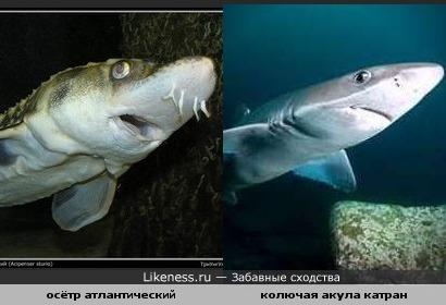 Окула и Асётр