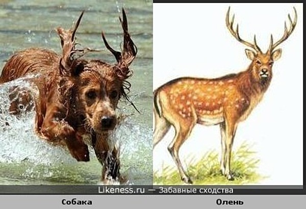 Уши собаки похожи на рога оленя