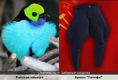 "Узор грудки Танагры напомнил брюки ""Галифе""))"
