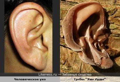 """Человеческое ухо похоже на редкий вид грибов """"Уши Иуды"""""""