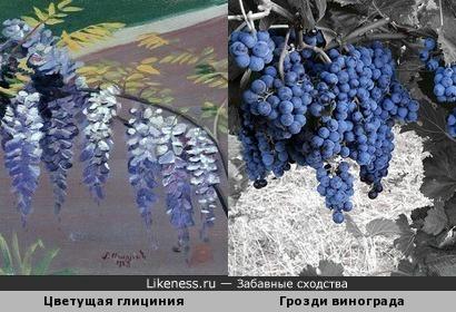 Цветущая глициния напомнила грозди винограда