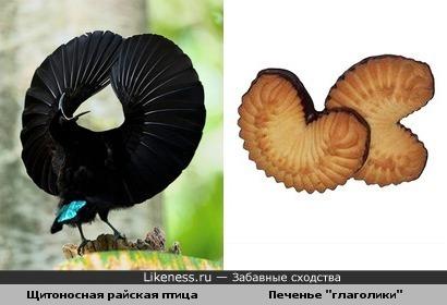 Щитоносная райская птица и песочное печенье