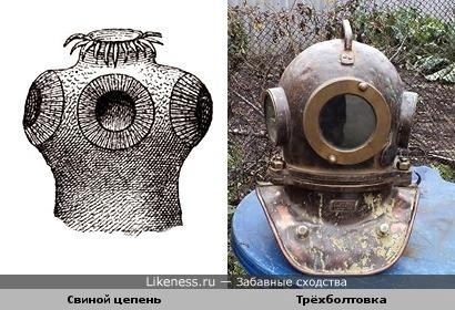 Голова свиного цепня напоминает шлем-трёхболтовку