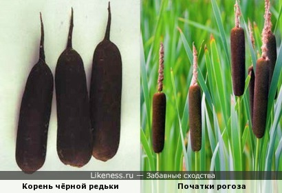 Корень чёрной редьки похож на соцветие рогоза