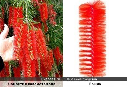 Соцветия каллистемона похожи на ёршики