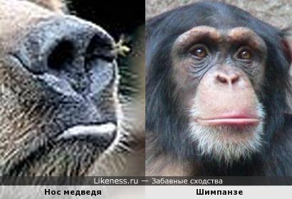 Нос медведя похож на физиономию шимпанзе