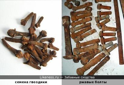 Семена гвоздики похожи на ржавые болты